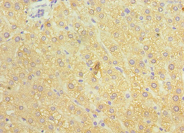 Immunohistochemistry of paraffin-embedded human liver using antibody 1:100 dilution.