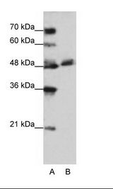 WDR13 Antibody - A: Marker, B: Jurkat Cell Lysate.  This image was taken for the unconjugated form of this product. Other forms have not been tested.