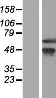 WDR13 Protein - Western validation with an anti-DDK antibody * L: Control HEK293 lysate R: Over-expression lysate