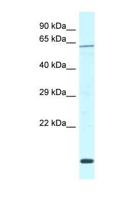 DCAF11 / WDR23 antibody LS-C145805 Western blot of Mouse Pancreas lysate. Antibody concentration 1 ug/ml.  This image was taken for the unconjugated form of this product. Other forms have not been tested.