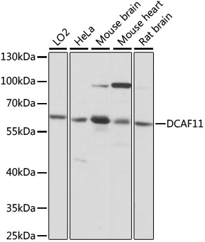 WDR23 / DCAF11 Antibody - Western blot analysis of extracts of various cell lines, using DCAF11 antibody at 1:1000 dilution. The secondary antibody used was an HRP Goat Anti-Rabbit IgG (H+L) at 1:10000 dilution. Lysates were loaded 25ug per lane and 3% nonfat dry milk in TBST was used for blocking. An ECL Kit was used for detection and the exposure time was 1s.