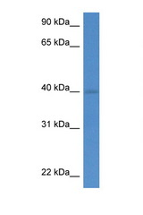 WDR5 antibody Western blot of Mouse Pancreas lysate. Antibody concentration 1 ug/ml.  This image was taken for the unconjugated form of this product. Other forms have not been tested.