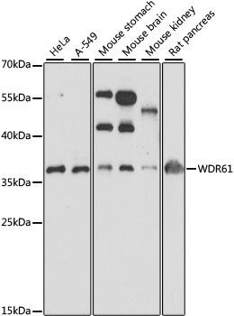 WDR61 Antibody - Western blot analysis of extracts of various cell lines, using WDR61 antibody at 1:1000 dilution. The secondary antibody used was an HRP Goat Anti-Rabbit IgG (H+L) at 1:10000 dilution. Lysates were loaded 25ug per lane and 3% nonfat dry milk in TBST was used for blocking. An ECL Kit was used for detection and the exposure time was 40s.