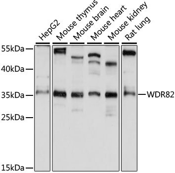 WDR82 / TMEM113 Antibody - Western blot analysis of extracts of various cell lines, using WDR82 antibody at 1:1000 dilution. The secondary antibody used was an HRP Goat Anti-Rabbit IgG (H+L) at 1:10000 dilution. Lysates were loaded 25ug per lane and 3% nonfat dry milk in TBST was used for blocking. An ECL Kit was used for detection and the exposure time was 10s.