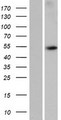 WDR88 Protein - Western validation with an anti-DDK antibody * L: Control HEK293 lysate R: Over-expression lysate