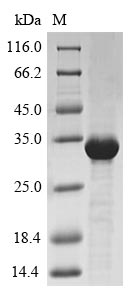 Trypsin/alpha-amylase inhibitor CMX2 Protein - (Tris-Glycine gel) Discontinuous SDS-PAGE (reduced) with 5% enrichment gel and 15% separation gel.