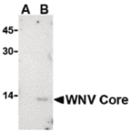 Western blot of WNV Core in (A) untransfected or (B) transfected HeLa lysate with WNV Core antibody at 1 ug/ml.