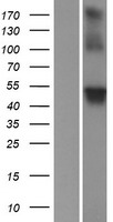 WRAP73 / WDR8 Protein - Western validation with an anti-DDK antibody * L: Control HEK293 lysate R: Over-expression lysate