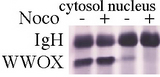 3 ug of WW domain-containing oxidoreductase (WWOX) antibody immunoprecipitated the 46 kD WWOX protein from the cytosol of Molt4 T-cells, treated with nocodazole (10uM, 24 hr.) to synchronize mitosis.