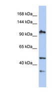XAB2 Antibody - XAB2 antibody Western blot of PANC1 cell lysate. This image was taken for the unconjugated form of this product. Other forms have not been tested.