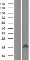 XAGE1A Protein - Western validation with an anti-DDK antibody * L: Control HEK293 lysate R: Over-expression lysate