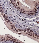 Immunohistochemistry: XBP1 Antibody - Staining of XBP1 in mouse bladder using DAB with hematoxylin counterstain.  This image was taken for the unconjugated form of this product. Other forms have not been tested.