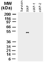 XIAP Antibody - Western blot of recombinant full-length IAP proteins using polyclonal antibody to XIAP (Polyclonal Antibody to XIAP) at 1:2000. The data shows that the antibody recognizes only XIAP and not the other IAP proteins.