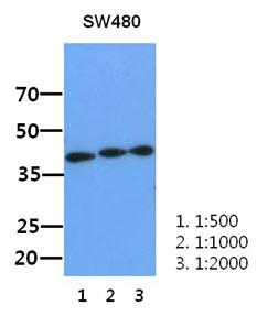 Western Blot: The lysate of SW480 (30 ug) were resolved by SDS-PAGE, transferred to PVDF membrane and probed with anti-human XPA antibody(1:500 ~ 1:2000). Proteins were visualized using a goat anti-mouse secondary antibody conjugated to HRP and an ECL detection system.