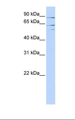 293T cell lysate. Antibody concentration: 1.0 ug/ml. Gel concentration: 12%.  This image was taken for the unconjugated form of this product. Other forms have not been tested.