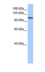 Fetal heart cell lysate. Antibody concentration: 0.5 ug/ml. Gel concentration: 6%-18%.  This image was taken for the unconjugated form of this product. Other forms have not been tested.