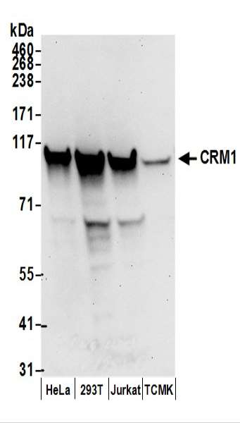 Detection of Human and Mouse CRM1 by Western Blot. Samples: Whole cell lysate (50 ug) prepared using NETN buffer from HeLa, 293T, Jurkat, and mouse TCMK-1 cells. Antibodies: Affinity purified rabbit anti-CRM1 antibody used for WB at 0.1 ug/ml. Detection: Chemiluminescence with an exposure time of 30 seconds.