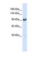 XPO1 / CRM1 Antibody - XPO1 / CRM1 antibody Western blot of 293T cell lysate. This image was taken for the unconjugated form of this product. Other forms have not been tested.