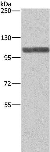 Western blot analysis of NIH/3T3 cell, using XPO1 Polyclonal Antibody at dilution of 1:275.