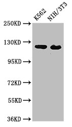 Positive WB detected in:K562 whole cell lysate,NIH/3T3 whole cell lysate;All lanes:XPO1 antibody at 3?g/ml;Secondary;Goat polyclonal to rabbit IgG at 1/50000 dilution;Predicted band size: 124 KDa;Observed band size: 124 KDa;