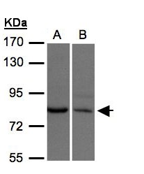 XPR1 Antibody - Sample (30 ug of whole cell lysate). A: H1299, B: Hep G2. 7.5% SDS PAGE. XPR1 antibody diluted at 1:500
