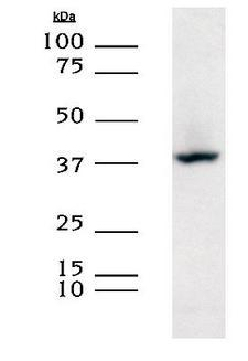 XRCC3 Antibody - XRCC3 detected in HEK293 lysates using a 1:1000 dilution of Protein A purified XRCC-3 antibody [10F1/6].  This image was taken for the unconjugated form of this product. Other forms have not been tested.