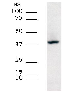 XRCC3 detected in HEK293 lysates using a 1:1000 dilution of Protein A purified LS-C2948.  This image was taken for the unconjugated form of this product. Other forms have not been tested.