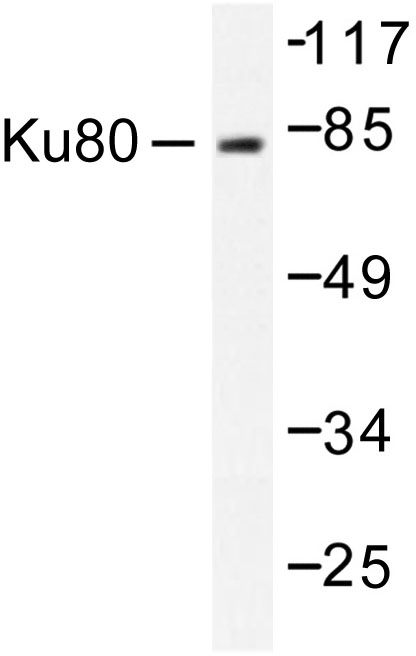 Western blot of Ku80 (D708) pAb in extracts from COS7 cells.