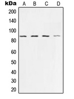Western blot analysis of Ku80 expression in HeLa (A); A673 (B); A549 (C); COS7 (D) whole cell lysates.