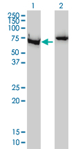Western blot of XRCC6 expression in transfected 293T cell line by LS-B5387.