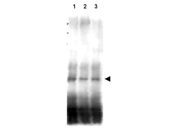 Yeast Mer2 Antibody - Anti-Mer2 pS30 Antibody - Western Blot. Western blot of affinity purified anti-S. cerevisiae Mer2 antibody shows detection of phosphorylated and unphosphorylated Mer2 in wild type, phosphatase treated and mutant cells. Lane 1 contains Mer2-myc protein detected in wild type cells after first immunoprecipitating the protein using anti-myc antibody. Cells were harvested 4 h after the initiation of meiosis and therefore contain mostly phosphorylated Mer2. Lane 2 contains the same preparation after treatment with phosphatase. Lane 3 contains Mer2-S30A protein as a phosphorylation control. This antibody is reactive with both phosphor-ylated and unphosphorylated Mer2 at the S30 position. The primary antibody was used at a 1:5000 dilution. Personal Communication. Michael Lichten, NIH, CCR, Bethesda, MD.