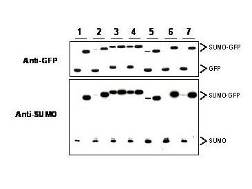 Yeast SUMO Antibody - Anti-SUMO antibody, generated by immunization with recombinant yeast SUMO, was tested by western blot against several constructs of SUMO-GFP fusion proteins after cleavage by proteases in insect cell protein extracts. These constructs contained various linkers between the SUMO and GFP portion of the fusion proteins. Each sample was run twice. The left lanes each contain 2 ug E.coli expressed and purified SUMO-GFP fusion proteins after incubation with lysed cells (50 ug total protein) for 1 h. The right lanes contain the same fusion proteins incubated with the lysate in the presence of 2% SDS. After probing with anti-GFP antibodies the membranes were stripped of antibody using SDS-DTT solution for 30 m at 60° C and were then re-probed using the anti-SUMO antibody at a 1:1000 dilution incubated overnight at 4° C in 5% non-fat dry milk in TTBS. Detection occurred using a 1:2000 dilution of HRP-labeled Donkey anti-Rabbit IgG for 1 hour at room temperature. A chemiluminescence system was used for signal detection (Roche). Other detection systems will yield similar results.