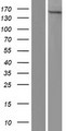 YEATS2 Protein - Western validation with an anti-DDK antibody * L: Control HEK293 lysate R: Over-expression lysate