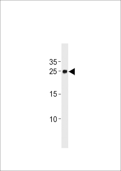 DANRE ywhag1 Antibody western blot of zebra fish brain tissue lysates (35 ug/lane). The DANRE ywhag1 antibody detected the DANRE ywhag1 protein (arrow).