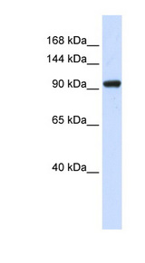 ZBED9 / SCAND3 Antibody - SCAND3 antibody Western blot of 293T cell lysate. This image was taken for the unconjugated form of this product. Other forms have not been tested.