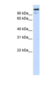 ZBTB10 Antibody - ZBTB10 antibody Western blot of 293T cell lysate. This image was taken for the unconjugated form of this product. Other forms have not been tested.