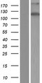 ZC3H7B Protein - Western validation with an anti-DDK antibody * L: Control HEK293 lysate R: Over-expression lysate