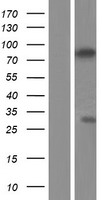 ZCWPW1 Protein - Western validation with an anti-DDK antibody * L: Control HEK293 lysate R: Over-expression lysate