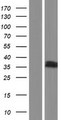 ZDHHC3 Protein - Western validation with an anti-DDK antibody * L: Control HEK293 lysate R: Over-expression lysate