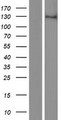 ZEB1 / AREB6 Protein - Western validation with an anti-DDK antibody * L: Control HEK293 lysate R: Over-expression lysate