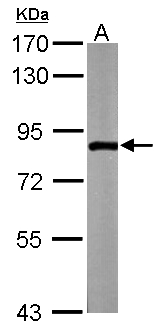 ZER1 Antibody - Sample (50 ug of whole cell lysate). A: Mouse brain. 7.5% SDS PAGE. ZER1 antibody diluted at 1:1000.