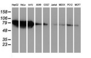 Western blot of extracts (35 ug) from 9 different cell lines by using anti-ZFP36 monoclonal antibody.