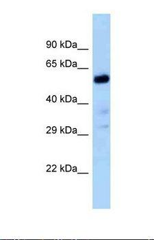 Zfp84 Antibody - Western blot of Rat Liver. Zfp84 antibody dilution 1.0 ug/ml.  This image was taken for the unconjugated form of this product. Other forms have not been tested.