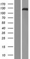 ZFPM1 / FOG1 Protein - Western validation with an anti-DDK antibody * L: Control HEK293 lysate R: Over-expression lysate