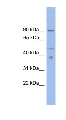 ZFX antibody LS-C116165 Western blot of THP-1 cell lysate.  This image was taken for the unconjugated form of this product. Other forms have not been tested.