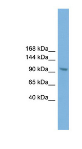 ZHX3 antibody LS-C116123 Western blot of NIH3T3 cell lysate.  This image was taken for the unconjugated form of this product. Other forms have not been tested.