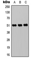 ZIC1+2+3+4+5 Antibody - Western blot analysis of ZIC1/2/3/4/5 expression in HEK293T (A); Raw264.7 (B); H9C2 (C) whole cell lysates.