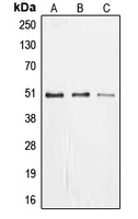 Western blot analysis of EGR1 expression in MCF7 (A); SHSY5Y (B); PC12 (C) whole cell lysates.