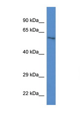 ZKSCAN1 antibody Western blot of Mouse Heart lysate. Antibody concentration 1 ug/ml. This image was taken for the unconjugated form of this product. Other forms have not been tested.