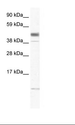 Fetal Brain Lysate.  This image was taken for the unconjugated form of this product. Other forms have not been tested.